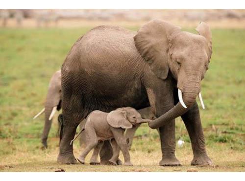 mamma elefante