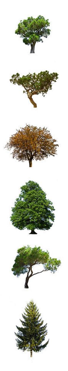 Gli alberi sempreverdi