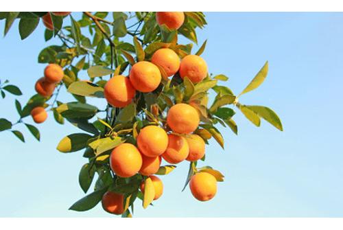 La leggenda dell'arancio 2