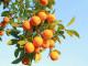 La leggenda dell'arancio