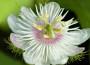 Passiflora_leggenda