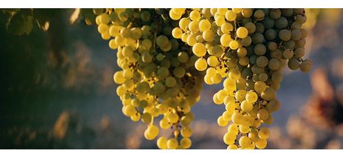 la leggenda dell'uva