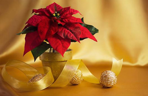 Foto Stella Di Natale.La Stella Di Natale Quale Significato Favole E Fantasia