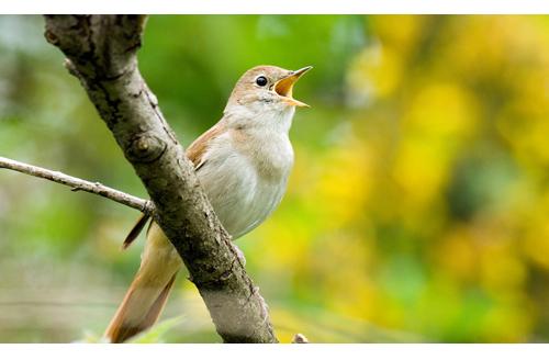 canto uccello