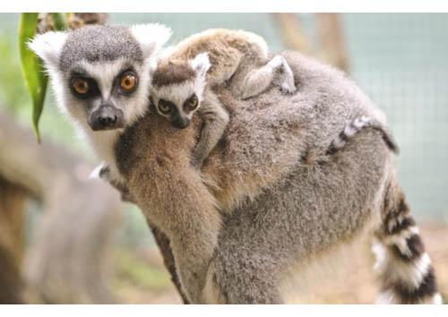 Mamma lemure