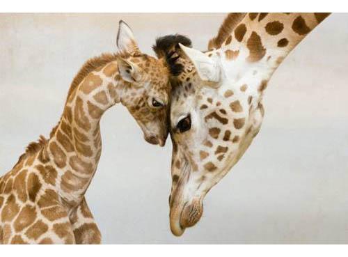 mamma giraffa 2