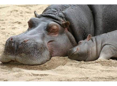 mamma ippopotamo