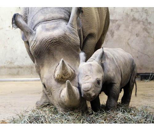 mamma rinoceronte