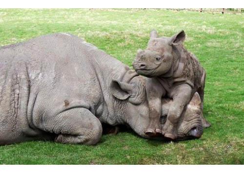 mamma rinoceronte_2