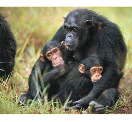 mamma scimpanze