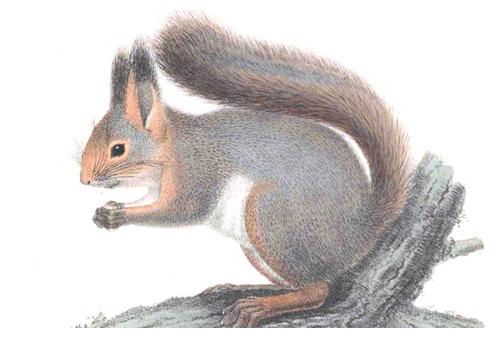 scoiattolo Rodolfo 2