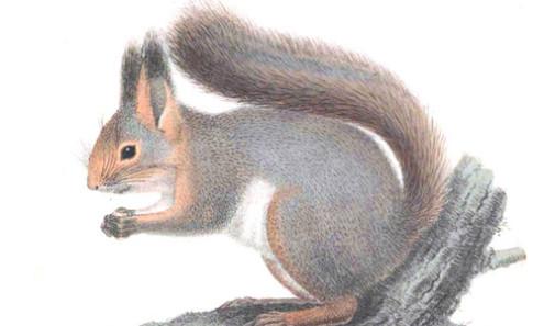 scoiattolo Rodolfo